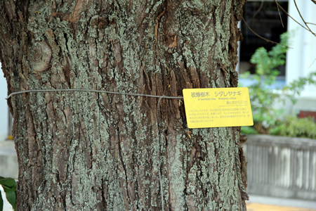 A-bombed tree with a plaque