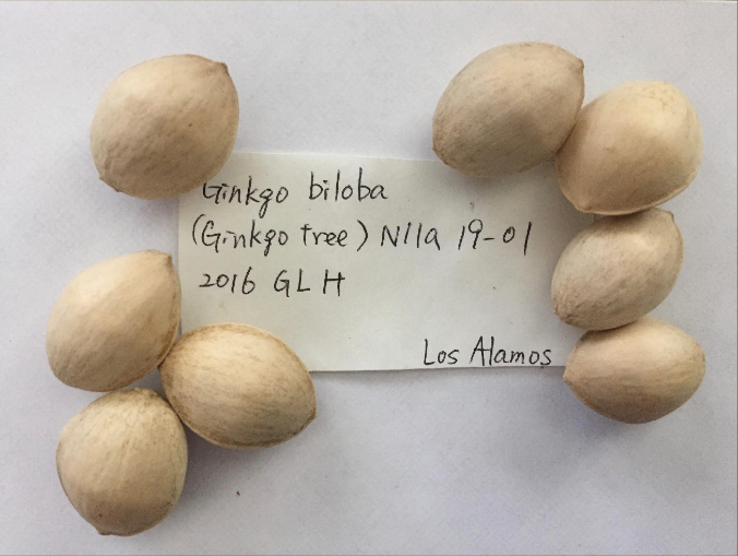 atomic bomb tree seeds in Los Almos History Museum