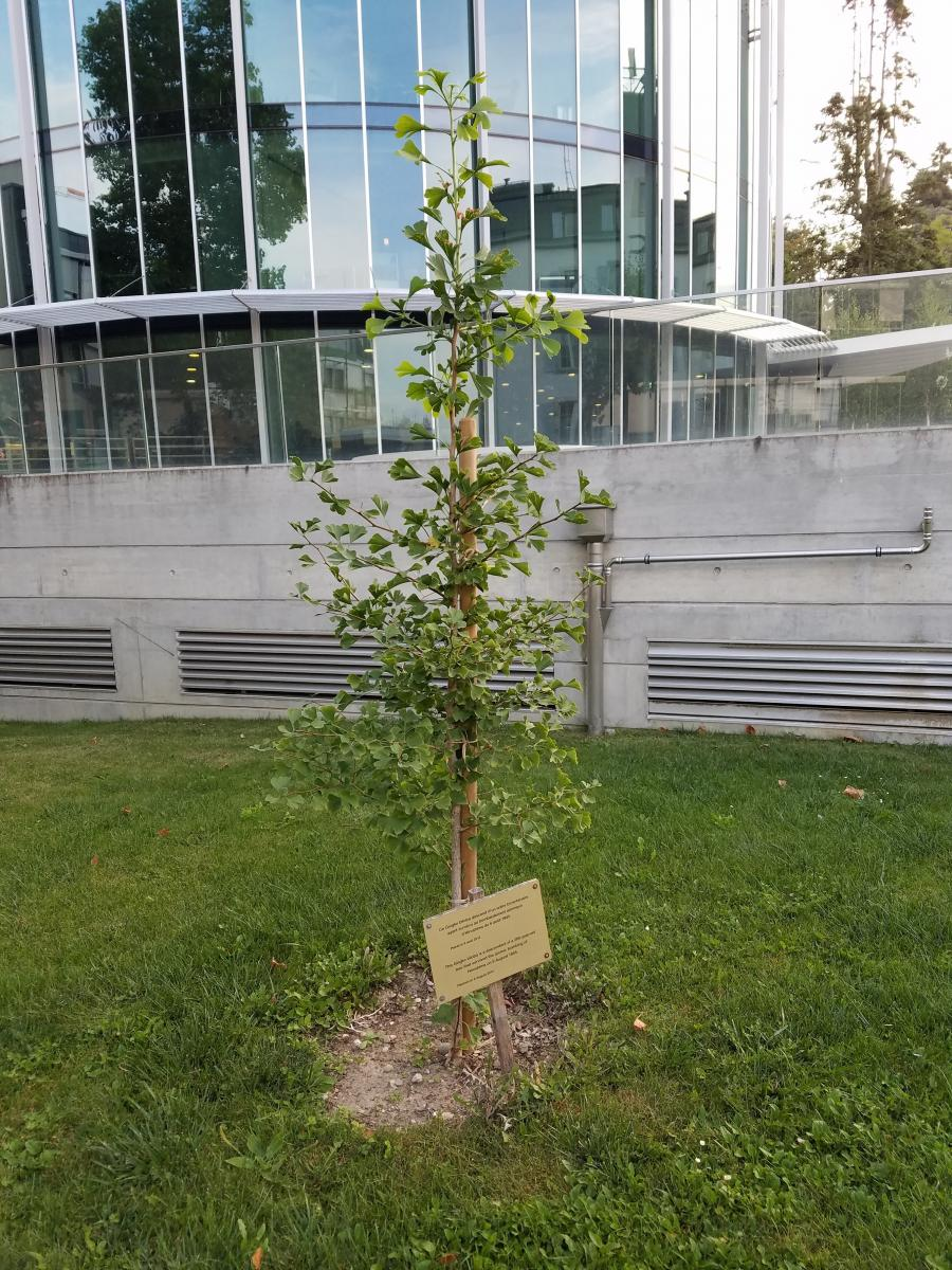 Green Legacy Hiroshima tree in ICRC
