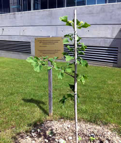 A-bomb survivor tree at ICRC Geneva